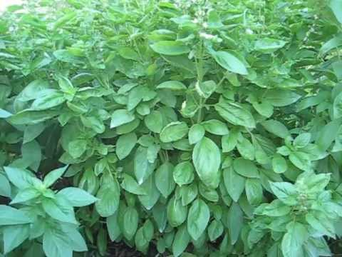 Basil Bush. Saving plants that have gone to seed.