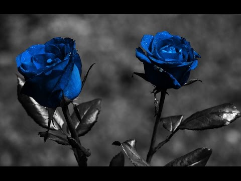 blue roses meaning - blue roses meaning miracle