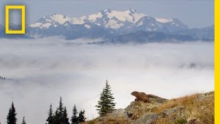 Marmots of Olympic National Park | America