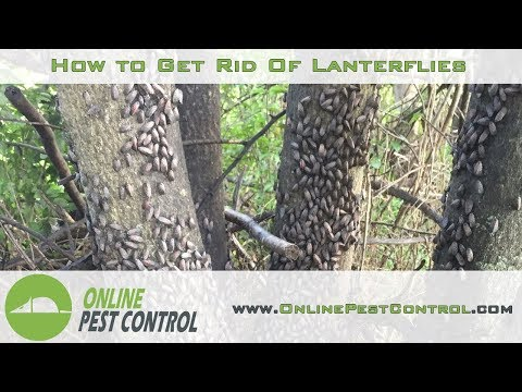 How to Get Rid of Lanternflies