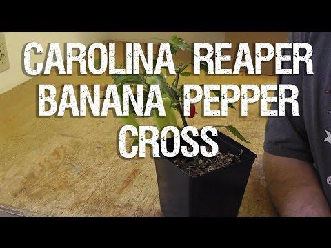 Carolina Reaper and Banana Pepper Cross