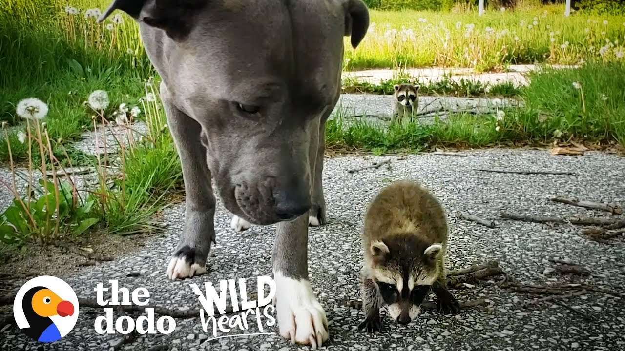Wild Baby Raccoons Think A Pit Bull Is Their Mom    The Dodo Wild Hearts
