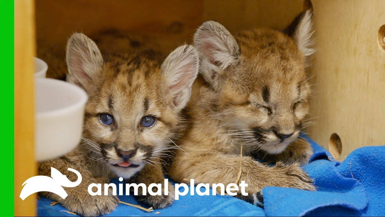 Abandoned Puma Cubs Have to Learn to Eat   The Zoo
