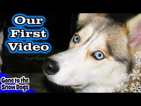 Siberian Husky Testing out the HD FlipShare Camera Our FIRST Video