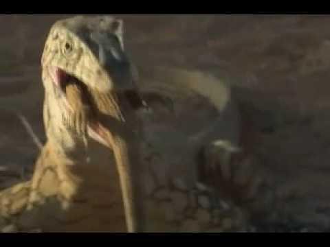 NOVA   Why Monitor Lizards Make Great Pets