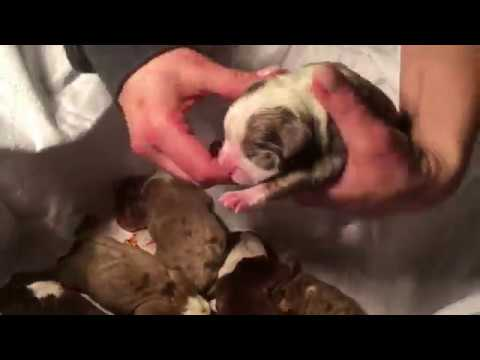 HOW TO HELP DELIVER A PUPPY; PUPPY GASPING FOR AIR; PUPPY NOT BREATHING NORMAL; WHEEZING PUPPY