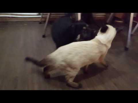 German Shepherd meets Cat for first time / Сиамская кошка и Немецкая овчарка