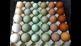 Extraños Huevos Azules de Gallina / Los Videos mas Raros del Mundo 165