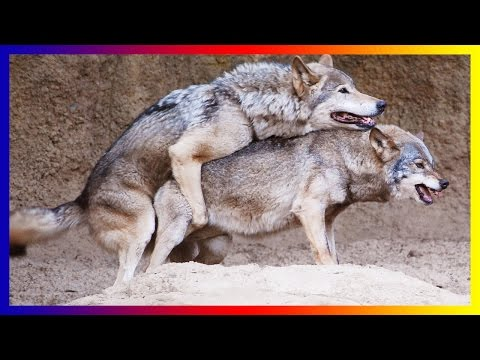 Xxx Mp4 Wild Wolf Life Mating And Giving Birth Sucess 3gp Sex