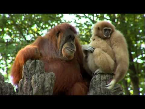 Xxx Mp4 Orangutan Loves Gibbon Baby Cincinnati Zoo 3gp Sex