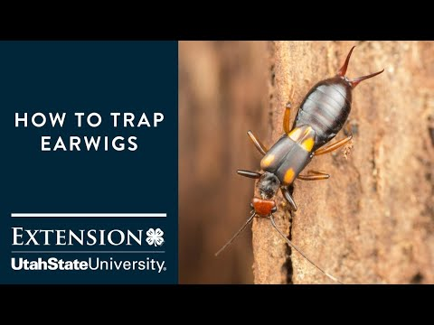 How to Trap Earwigs
