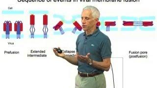 Viral membrane fusion - Stephen Harrison (Harvard/HHMI)