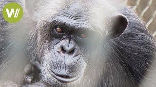Nach jahrelanger Gefangenschaft werden Schimpansen befreit