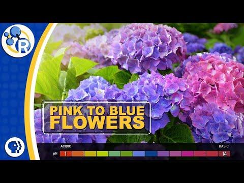 How Do Hydrangeas Change Colors?