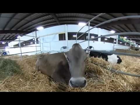 Kids Carnival Animals - Check out the Cow Show in VR (1 of 3)