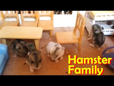 Family Of Tiny Russian Dwarf Hamsters In Sylvanian House