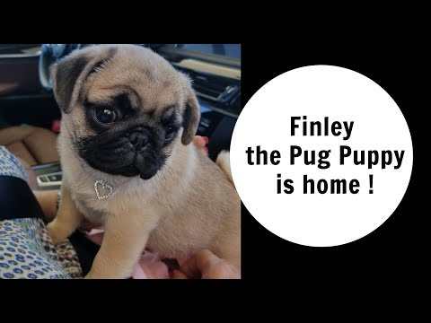 FINLEY THE PUG PUPPY IS HOME