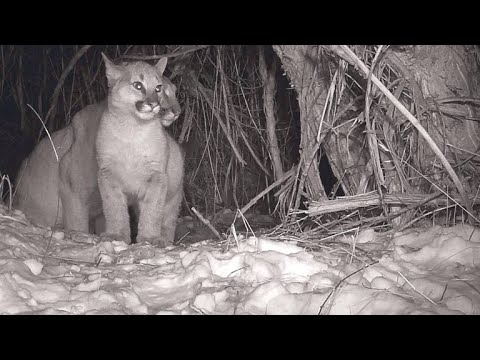 Cameras Catch Adorable Glimpse of Mountain Lion Family
