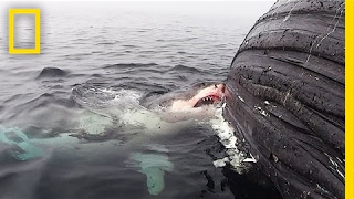 Watch: Great White Shark Feasts on Dead Whale | National Geographic