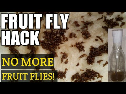 HOME REMEDIES FOR FRUIT FLIES AND GNATS | DIY APPLE CIDER VINEGAR FRUIT FLY TRAP | LIFE HACK GNATS