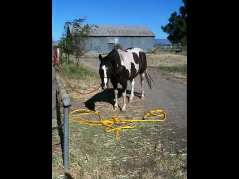 Sacking out Spooky Horse Scared of a hose, rearing and breaking free Part 1 - Rick Gore