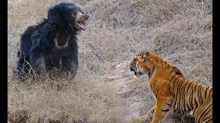 Download Tigers kill bear - Tigers attack wild boar and deer - Tiger vs lion easy fight! Animals attack Video