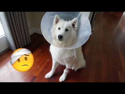 Samoyed Puppy Gets Spayed 🤕 - Nukka the Samoyed