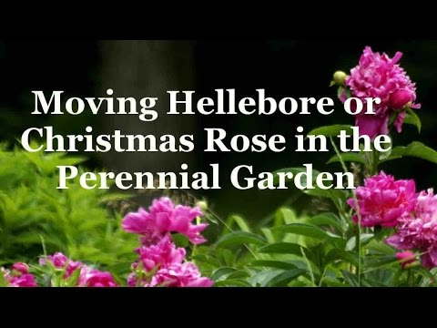 Moving Hellebore or Christmas Rose in the Perennial Garden