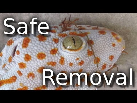 How To Remove A Tokay Gecko From The House (Thailand Dragon)