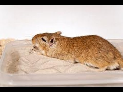 How to potty train a gerbil