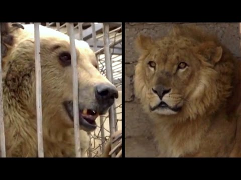 Xxx Mp4 Bear And Lion Rescued From Iraq Zoo The Dodo 3gp Sex