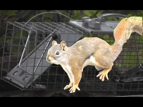How to catch a Squirrel  -  SUCCESSFULLY