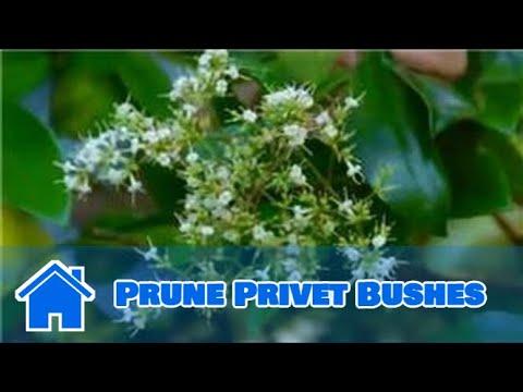 Maintaining & Pruning Shrubs : How to Prune Privet Bushes