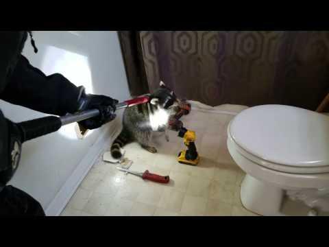Verminators remove raccoons stuck in walls
