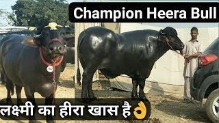 murrah+bull Videos - 9tube tv