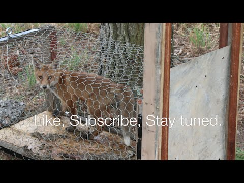 How to build a fox trap | HD | That works
