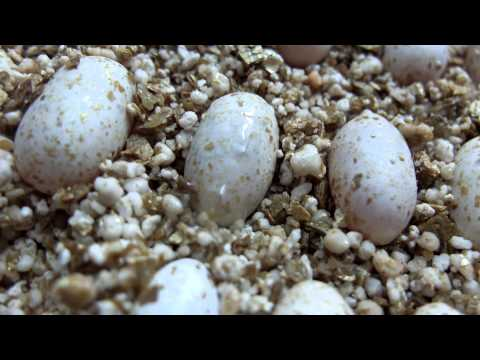 Leopard Gecko cutting and moving in it's egg...