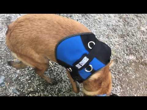 10-Month Old Malinois, Okalani! Service Dog Training Virginia | Service Dog Trainers Virginia