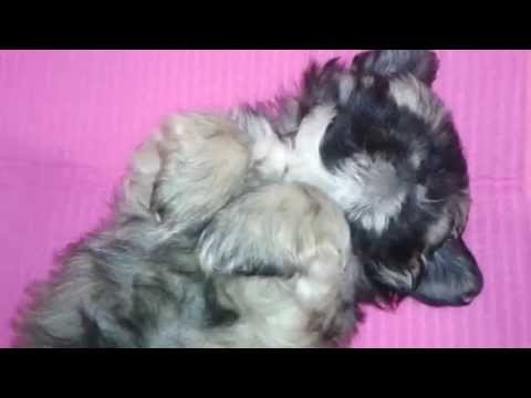How To Groom Shih Tzu Puppy - 10 Weeks Old - Face Cleaning
