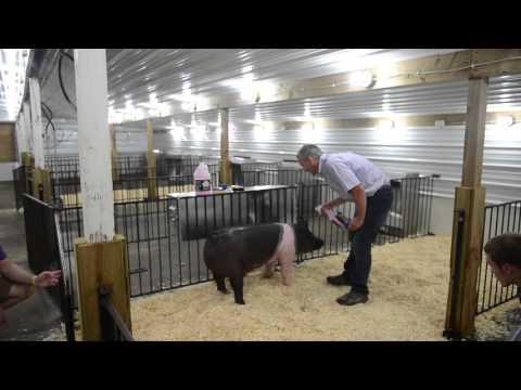 Swine Conditioner and Shine Enhances Show Pigs