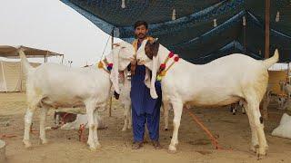 Heavy Weight Goats Gulabi Breed