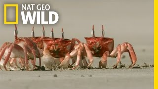 Crabby Eaters | Animal Dance Battles