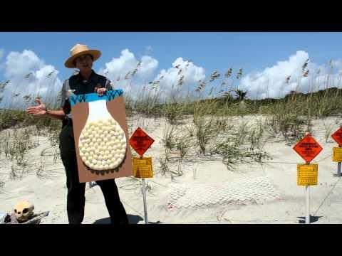 How to Help Save Loggerhead Sea Turtles- MyrtleBeach.com