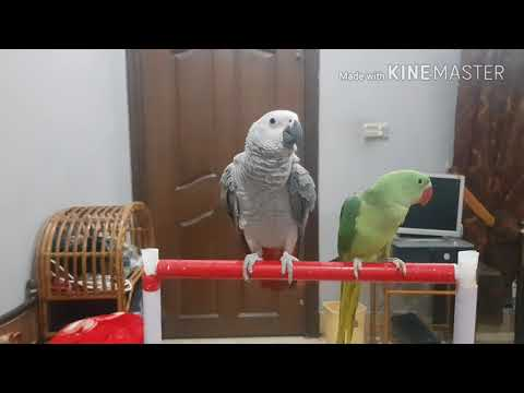 How to train your parrot to talk Urdu/Hindi
