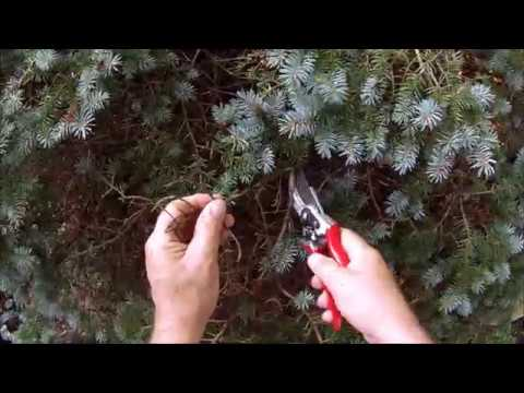 HOW TO: Trim a Globe Blue Spruce into a Topiary