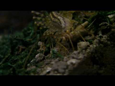 House Centipede eating cricket