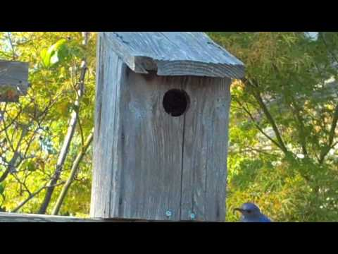 Bluebirds being fed.mov