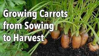Growing Carrots from Sowing to Harvest
