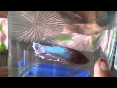 How to tell if your betta fish is male or female