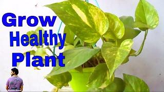 क्या आपके मनी प्लांट के पत्ते जल रहे है ? How to Care Money Plant - 20th 2017 /Mammal Bonsai